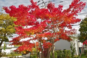 10/10 園庭の紅葉も綺麗に色づきました